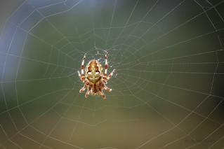 Junge Vierfleckkreuzspinne (Araneus quadratus) in ihrem Netz