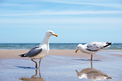 Trying to be a stork or flamingo? A seagull. (Gudzwi) Tags: seemöwe seagull möwe gull balticsea ostsee strand beach sand water wasser meer sea blau blue ngc
