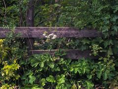 The Fence (Netsrak) Tags: europa europe zaun grün green leaf leaves blatt blätter