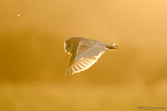 Barn owl at sundown 2 26.07.17 (Lee Myers - aka mido2k2) Tags: barn owl wild wildlife bbc springwatch bbcspringwatch countryfile nature natural explore trending beautiful sunset sun yellow amazing prey avian photography countryside rural predator rapror bird flight silent hunter nikon nikkor d7100 200500mm f56 vr iamnikon capture moment stunningbacklit light lighting uk yorkshire coast coastal free barnowl