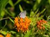 Eastern Tailed-Blue (pthompson108) Tags: butterflies cupidocomyntas easterntailedblue newhope pa asclepiastuberosa butterflyweed flowersplants