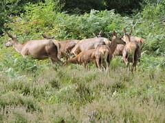 Red deer (deannewildsmith) Tags: staffordshire chasewater deer reddeer animal mammal earthnaturelife