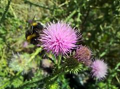WP_20170717_11_10_10_Pro (vale 83) Tags: bumble bee microsoft lumia 550 friends wpphoto wearejuxt flickrcolour colourartaward coloursplosion autofocus beautifulexpression