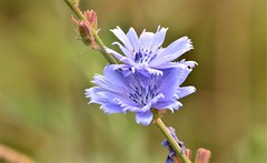 Double beauty. (pstone646) Tags: flowers wildflowers flora closeup nature blue bokeh kent petals