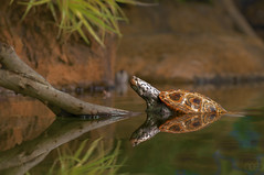 Turtle Reflection (lgflickr1) Tags: 2010 animal virginia virginiabeach turtle refection animalplanet water pond