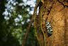 Lantern bug (Pyrops maculatus) (Jenny Theobald (nature)) Tags: nature macro outdoor wildlife rainforest sinharaja pyropsmaculatus lanternbug srilanka insects planthopper hemiptera