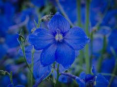 Blue flower (frankmh) Tags: plant flower blue sofiero sofierocastlegarden helsingborg skåne sweden outdoor