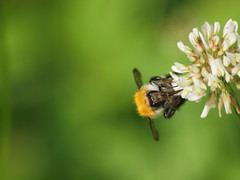 Augenblick (reuas ogni) Tags: insekt insect klee clover nature natur makro macro olympus zuiko isoz biene bee
