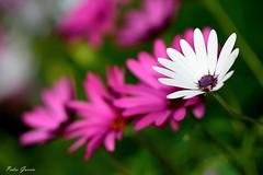 Flowers flickr (Peideluo) Tags: macrofotografía flor jardín