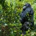 Adult Male Silverback Grauer's Gorilla