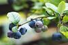 2017 Blueberry #2 (Yorkey&Rin) Tags: 2017 7月 blueberry em5markii inmygarden japan july kanagawa kawasaki macro olympus olympusm60mmf28macro rin ua090009 ブルーベリー 庭