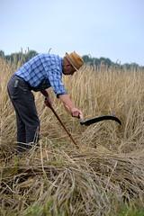 Scythe (smeerjewegproducties) Tags: farmer scythe work blue corn boer zeis maaien