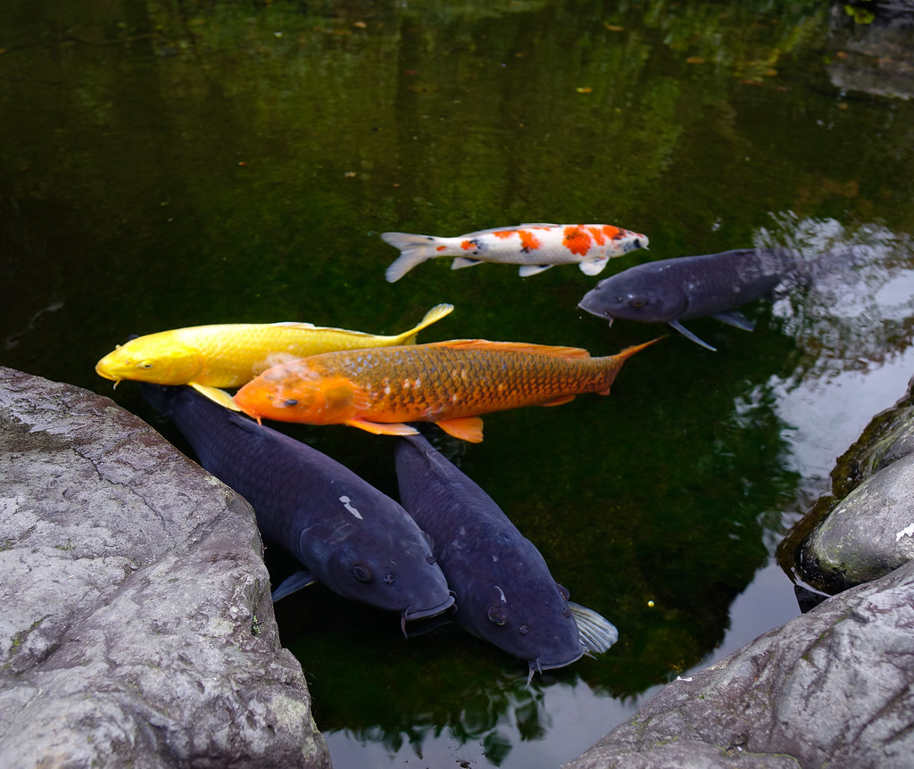 The world 39 s best photos of color and koi flickr hive mind for Japanese carp