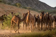 PushkarCamelFair_221 (SaurabhChatterjee) Tags: camel cattlefair desert desertsafari festivalsofindia festivalsofrajasthan pushkar pushkarcattlefairimages pushkarimages pushkarmela pushkarrajasthan saurabhchatterjee siaphototours siaphotographyin