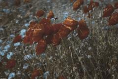 Poppies & Cornflowers (RexJAdams) Tags: poppies cornflowers fujixseries fujix100t fujilove fujifamily fujixfamily fujifilm grain fade subduedcolour