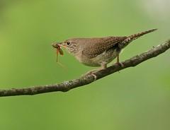You're Pulling My Leg... (Slow Turning) Tags: troglodytesaedon housewren bird perched tree branch prey food feeding forage foraging grasshopper summer southernontario