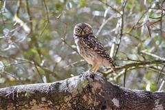 Entre los árboles (sergio estevez) Tags: aves bokeh color desenfoque fauna pajaros kenko15x luz lajanda mochuelo naturaleza nikonafs300mmf4 sombra sergioestevez