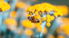 Macro Bee (Nicola Pezzoli) Tags: italy italia bergamo leffe lombardia val gandino cerida mood nature ceride bee ape insect bokeh liquirizia flowers insetto zoom macro