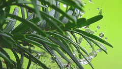 raindrops caught in the web (Hayseed52) Tags: web raindrops evergreen showers rainyday