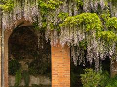 Wisteria arches - Powis Castle (Tim Ravenscroft) Tags: wisteria castle powis wales hasselblad hasselbladx1d x1d powys