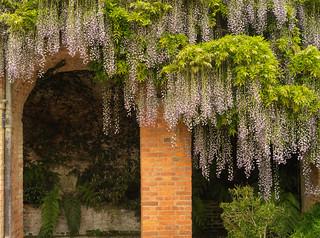 Wisteria arches - Powis Castle
