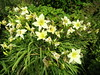 Hemerocallis (wallygrom) Tags: england westsussex eastpreston angmering ferring worthing a259 highdown highdowngardens highdownhill