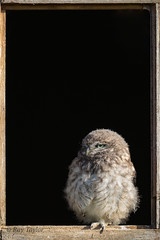 Window Shopping (raytaylor77) Tags: bop framed littleowl stairring wildlife window bird cute feathers home house juvinile nature perched possing wild wiltshire wings young