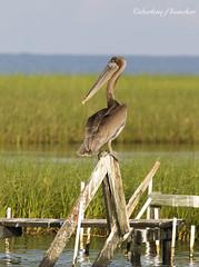 pretty pelican (amaw) Tags: winner