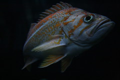 Vermilion Rockfish/Sébaste vermillon (Sebastes miniatus) (Andrew-1 (Thanks for 8000+ Favourites!)) Tags: fish poisson nature animal pisces life living alive live vie vivant vida scorpaenidae aquarium quebec flickrsbestcreatures aquariumduquébec