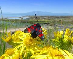North Shore Burnet Moth1 (g crawford) Tags: crawford ayrshire northarranclydeinsectmothburnet mothsix spot burnet6 burnetnorth