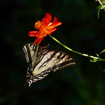 Tiger Swallowtail on an orange Cosmos blossom. I love these beautiful butterflies. thumbnail