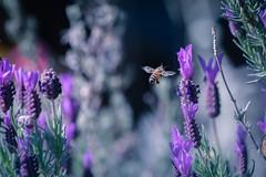 Incoming (CORDAN) Tags: cordan dmyers 2017 nikond500 closeup macro pollen honeybee backyard lavender purple micro