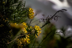 Vulnéraires vers la Lumière (2) (Frédéric Fossard) Tags: flore fleur nature végétal florealpine fleurdesalpes macro bokeh flou vulnérairedesalpes grain texture lumière tige alpes hautesavoie coldebalme massifdumontblanc valléedechamonix alpage profondeurdechamp