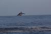 IMG_4704 (armadil) Tags: mavericks beach beaches californiabeaches bird birds pelican pelicans flying