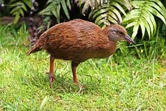 Weka (Ahsan.) Tags: weka bird nz native hen brown milford sound south island amazing beautiful