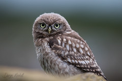 Little Owl (Daryn Mockett) Tags: gorgeous stunning cute
