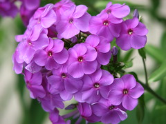 Phlox (AmyWoodward) Tags: phlox fantasticflower