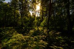 Im Wald..... (st.weber71) Tags: wesel wald bunt bäume germany gegenlicht sonne sunbeams pflanzen outdoor nikon nrw niederrhein deutschland dinslaken hünxe farben natur d800 sonnenstrahlen sonnenschein sonnenlicht sonnensterne