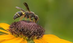 20170716-_Y4A4205 (digiphotonut) Tags: backyard blackeyedsusan edgewood insect kentucky macro wasp flower