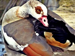 Animals (j.abellan3) Tags: landscape phography animals nature world free duck