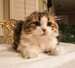 you're what?! (pbo31) Tags: bayarea california iphone7 color july 2017 summer boury pbo31 scottishfold cat kitten kitty livermore pleasanton eastbay eyes pet tulip what shocked suprised play animal brown paws fur