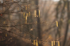 Concerto invernale. (SimonaPolp) Tags: winter january nature light bokeh sun sunlight wood forest trees gold