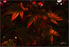 Bloodgood Japanese Maple. Part 2. (Picture post.) Tags: nature green macro sunlight maple japanese tree arbre backlight summertime color bloodgood