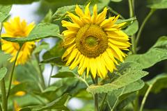 Sunflower (enneafive) Tags: sunflower yellow green sun fujifilm xt2 flowers agriculture