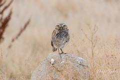 Watchful Burrowing Owl
