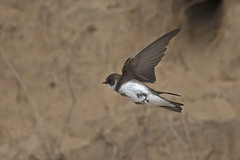 Sand Martin (JaneTurner68) Tags: sandmartin bird ythanestuary scottishhighlands scotland canon1dmkiv canon100400mmmkiilens canon