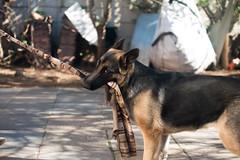 Meh (Rushay) Tags: 50mm alsatian canine dog easterncape germanshepherd nikond810 pet playful portelizabeth pulling puppy southafrica thugofwar