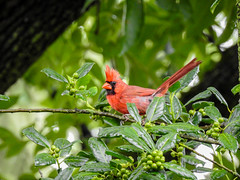 Mr. Cardinal (Alemap.1) Tags: cardinal red macro nature tree perch