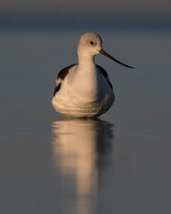 Feeling Centered (PeterBrannon) Tags: americanavocet bird elegant florida nature recurvirostraamericana wader wildlife sunrise
