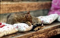 Pardo dorme nell' orto (toscano libero) Tags: